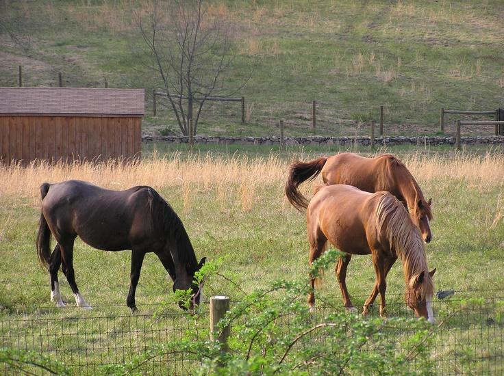 Horses grazing ~~ Califon, NJ