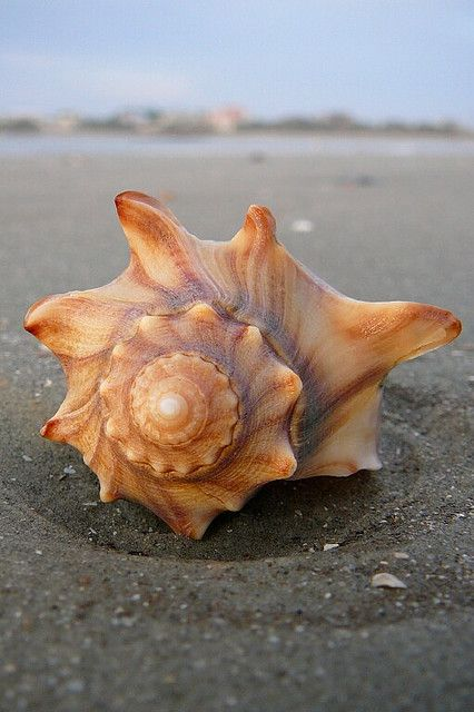 I like this shell because of the colour, pattern and shape, I can image this shell painted in cold colours.