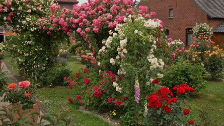 Rosen schneiden - Rosen pflanzen - Rosen düngen