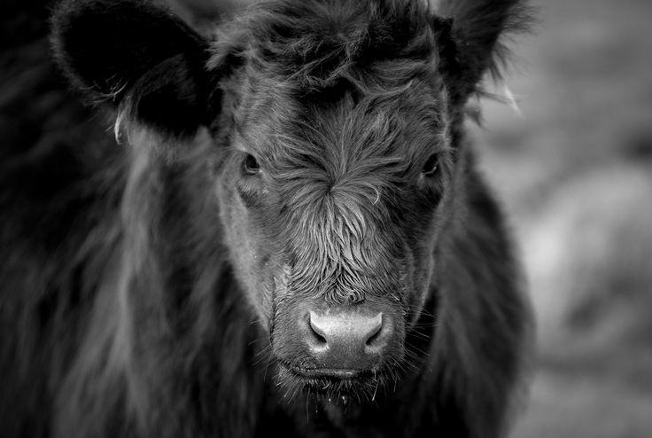 Calf on Dartmoor