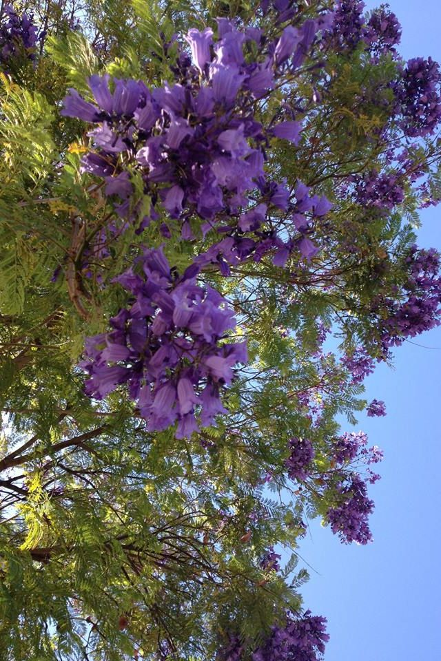 Jacaranda Trees: a collection of ideas to try about ...