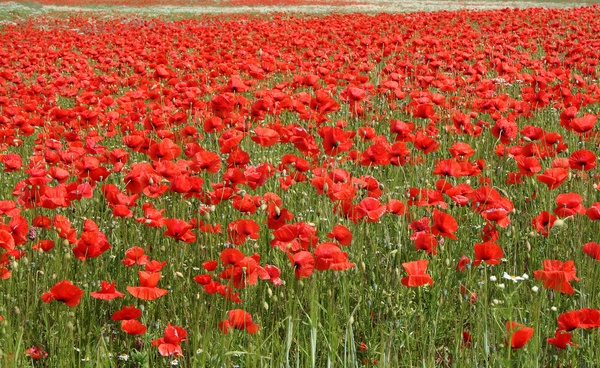 Poppy field, Denmark