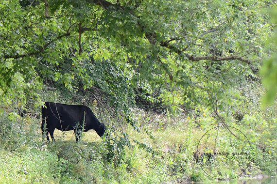 Een leuke foto van een koe Eet gras op een mooie zomeravond.  Dit meet 5 x 7. Op de achterzijde ondertekend.  ~ ~ Gebruik de drop-down menu om te kiezen van uw maat ~ ~ 8 x 10, 8 x 12, 11 x 14, 12 x 18, 16 x 20, 16 x 24.  ~ SCHEEPVAART IS gratis in de Verenigde Staten ~  Dit is uitsluitend op Kodak Professional Endura papier afgedrukt. Ik bied ook Endura Metallic papier. Please convo me voor een offerte.  Alle fotografie en post-processing is gedaan door mij ~ Denise Masyga.  ~ ~ Copyright…