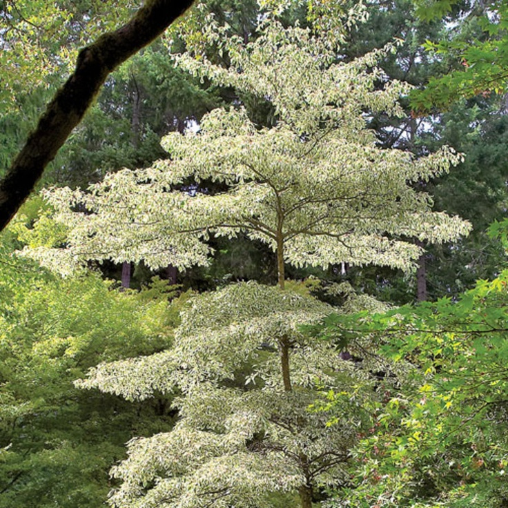 17 best images about trees and shrubs on pinterest trees and shrubs glow and shrubs. Black Bedroom Furniture Sets. Home Design Ideas
