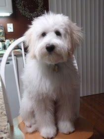 Tucker, the Whoodle (Soft-coated Wheaten Terrier and Poodle mix)