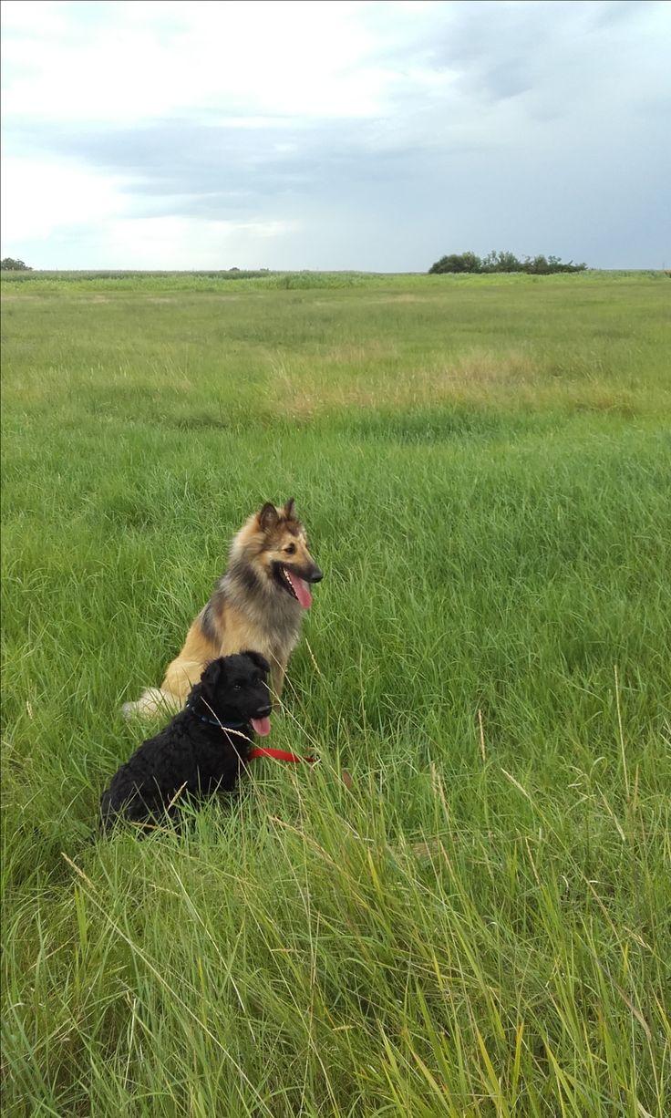 Before storm... My belgian shepherd dog, tervuren and my black mixed dog.