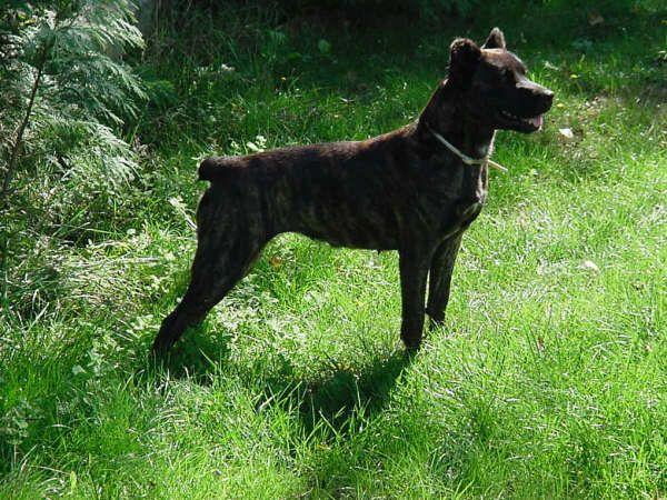 Cão de Fila de São Miguel - Açores - Portugal