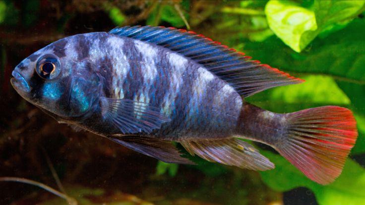 Картинки по запросу Neochromis rufocaudalis