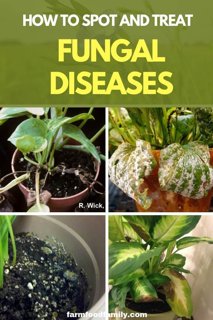 How To Spot And Treat Fungal Diseases Farmfoodfamily Fungal Diseases Plants Plant Diseases