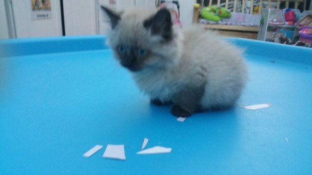 ... Sale on Pinterest | Ragdoll Kittens, Ragdoll Cats and Kitten For Sale