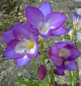Freesia 'Single Blue' FreesiaFreesia Earlyjun, Fresh Floral, Fragrant Freesia, Flower Inspiration10, Autumn Flower, 26 Flower, Freesia Single, Flower Flower, Purple Gardens