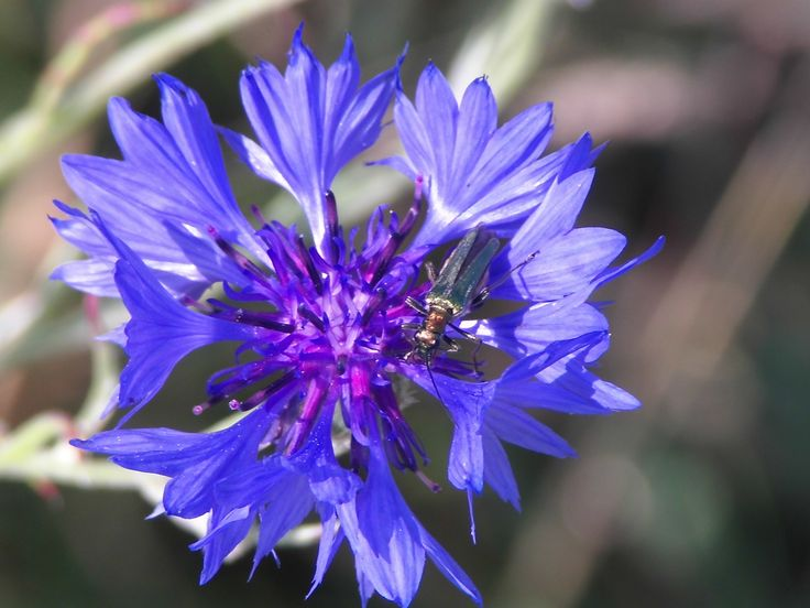 'Green & Blue' Flower Photography, Flowers, Meadow, Insect