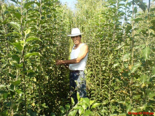 Pomi fructiferi si arbusti fructiferi de vanzare - SC POMALTOI SRL