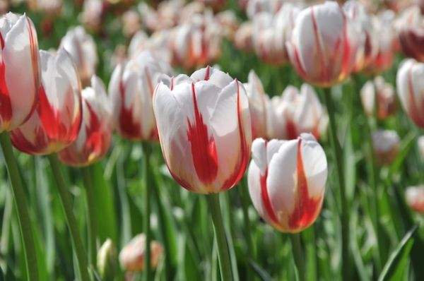 Sept. 12, St. Jacobs, Ont. – The much anticipated Canada 150 tulips have left Home Hardware's Distribution Centre in St. Jacobs, Ontario and are making their way into Home Stores across Canada.