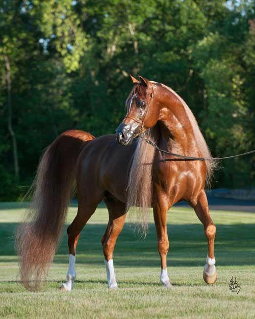 Beautiful Arabian horse named PA Scimitar. My favorite breed.