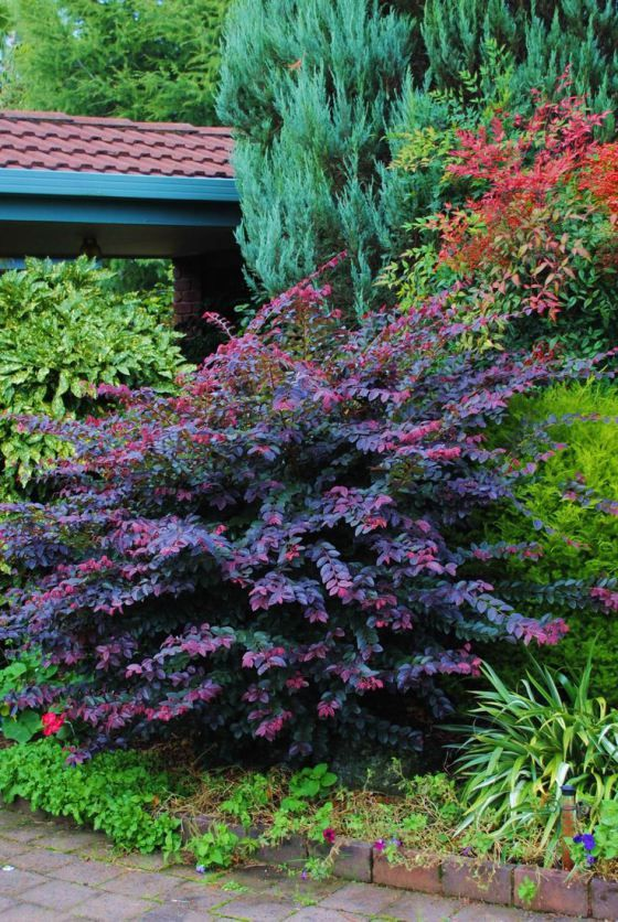 Loropetalum Purple Prince - behind it is nandina (a.k.a. heavenly bamboo or sacred bamboo) - since you want to fill up the space and block the view I don't see any reason to prune. Unpruned shrubs probably have some maximum size but will not be as dense as pruned ones.