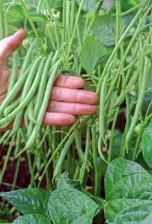 Some helpful tips for growing Green Beans: for mom