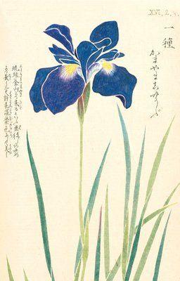Honzo Zufu [Iris] by Kan'en Iwasaki