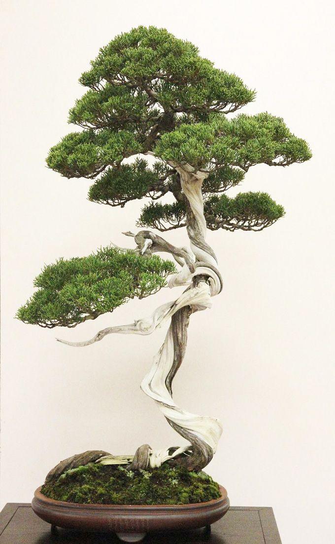shimpaku bonsai tree in literati style