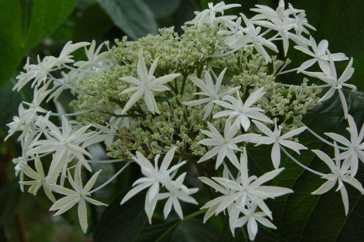 hortensien vermehren hortensien durch stecklinge. Black Bedroom Furniture Sets. Home Design Ideas