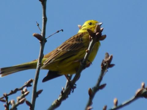 Yellowhammer: a little bit of bread | Nature Notes from Dorset