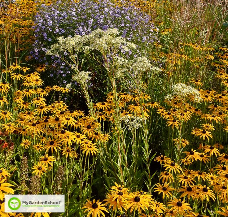 20 Best Images About Perennial Meadows On Pinterest | Online