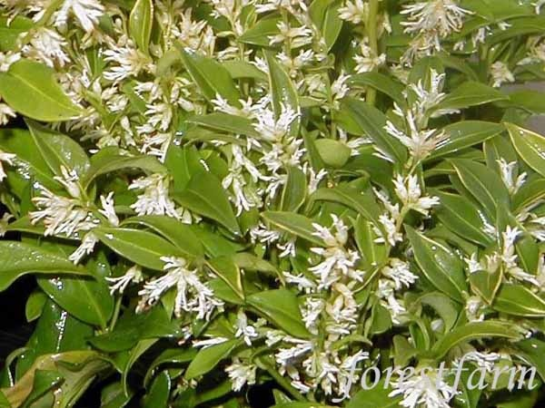 Dwarf Sarcocca / Sweetbox - shade loving evergreens that have fragrant flowers and like containers!  Perfect city plant?  Quite possibly.