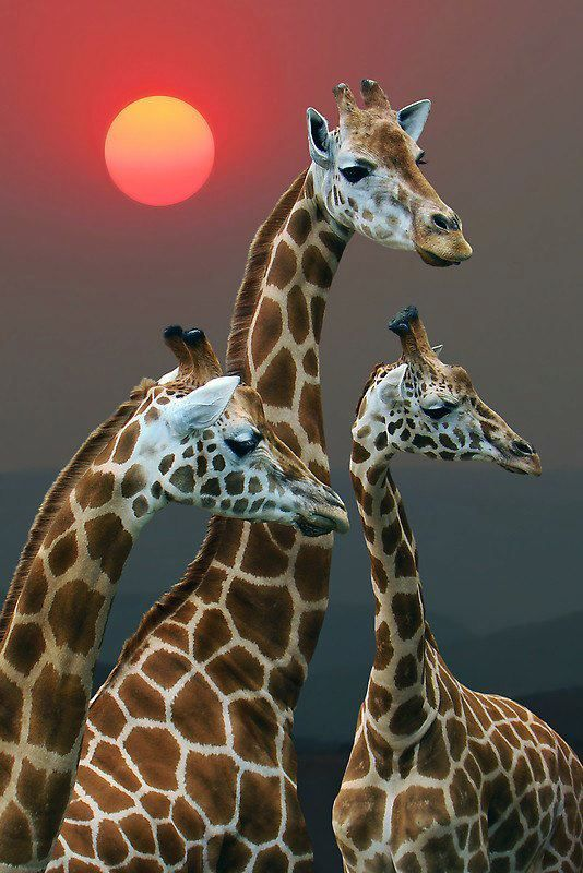 30 Incredible and Award Winning National Geography Animal Photography examples - Giraffes.
