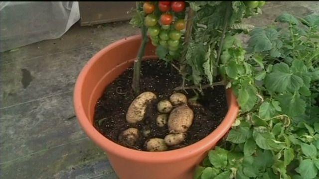 """#hortadendauw #vrt #nieuws #deredactie #aardappelen en #tomaten aan dezelfde plant, het klinkt een beetje buitenaards maar het bestaat al bijna 15 jaar. Een Engels bedrijf gaat de TomTato nu commercialiseren. De planten zijn niet genetisch gemanipuleerd maar handmatig geënt. TomTato is een samenstelling van de Engelse woorden """"tomato"""" en """"potato"""". Een nieuw Nederlands woord dringt zich op. (ruwe beelden Reuters)"""