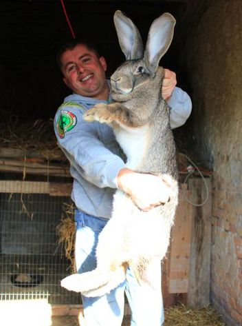 flemish giant!-i'm really not sure if this is real or not....RUN AWAY!! RUN AWAY!! aww, its just a little bunny is it?!