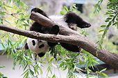 Giant panda - Wikipedia, the free encyclopedia