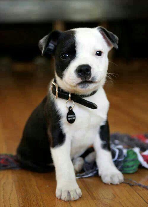 Pit bull puppy so cute