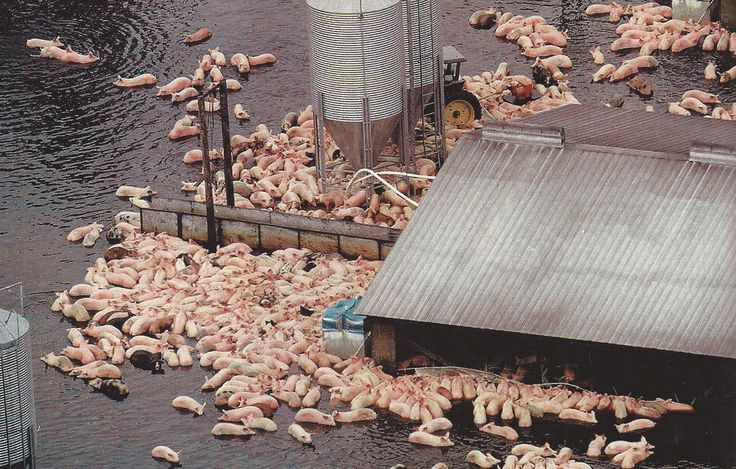 Pigs struggle to stay alive on one of the giant North Carolina farms where flood waters from Hurricane Floyd are sluggish to recede.