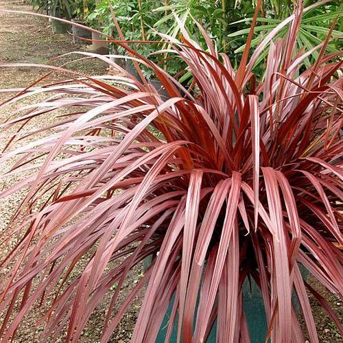 Maroon Garden Ideas: 55 Best Tropicanna® Cannas Images On Pinterest
