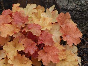 Heuchera Caramel - Long lasting color for the shade garden.  Combines well with black foliage plants such as Heuchera Obsidian or Ajuga Chocolate Chip