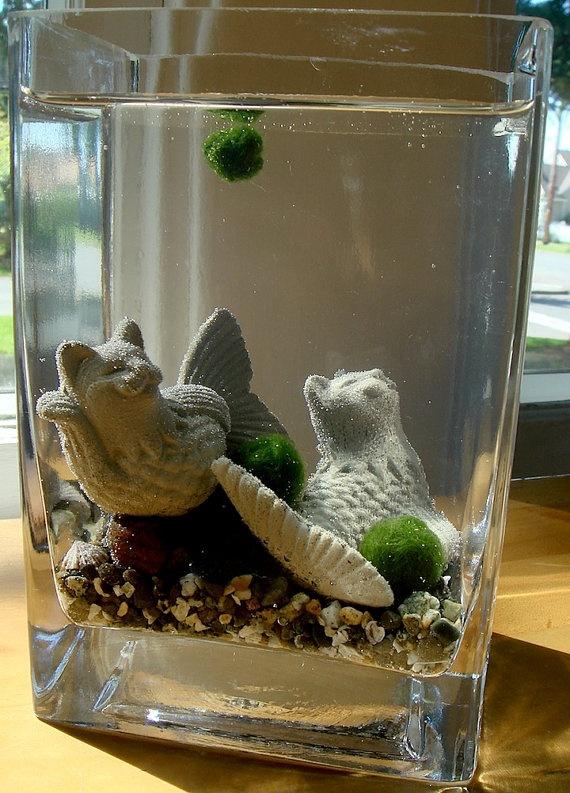 Live marimo balls and cat mermaid cat fish terrarium for Moss balls for fish tanks