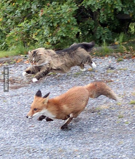 Norwegian forest cat chasing a fox More
