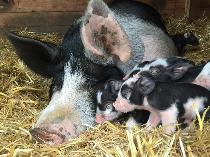 135 best images about Pigs & Goats on Pinterest