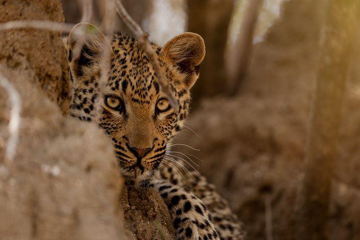 A young cub of the Maliliwane female (Kwatile) seeks refuge on a termite mound as her mother leaves to hunt. Photograph by Mike Sutherland