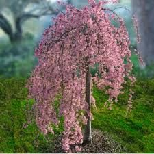 Image result for swnow fountains weeping cherry tree