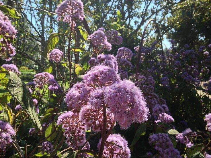 October seems to be the month for purple and mauve at Williamstown Botanic Gardens