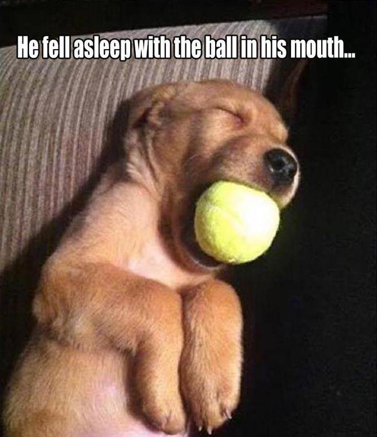 Golden Retriever dreaming of playtime