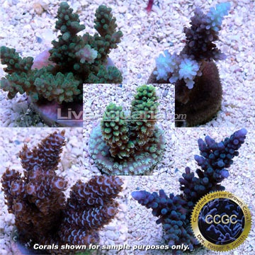 drs foster smith certified limited edition five frag pack aquacultured