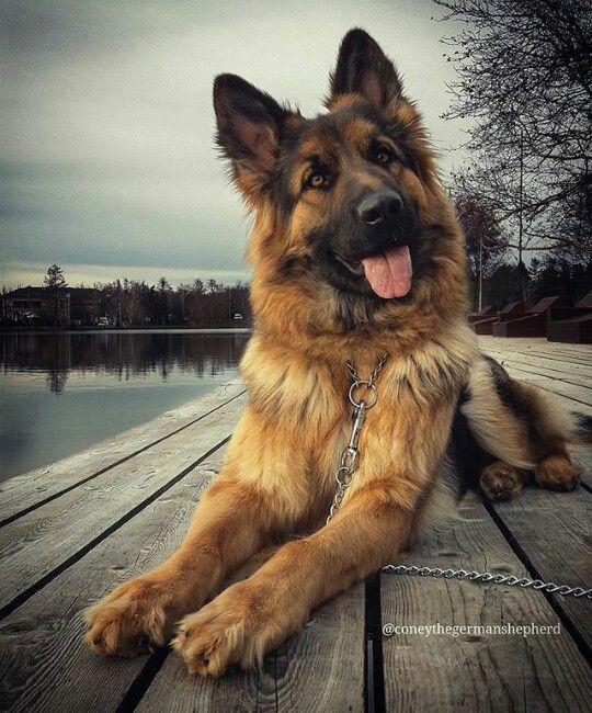German shepherd grin!