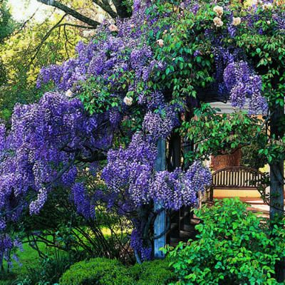 Top 50 water-wise plants  Wisteria This highly adaptable plant can be grown as trees, shrubs, or vines. All have large, fresh green leaves divided into many leaflets, and spectacular clusters of blue, white, or pinkish springtime blossoms.