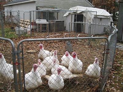 how to stop chickens flying over fence