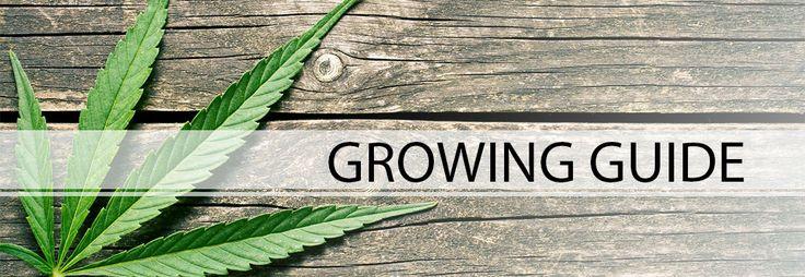 Buy Marijuana Seeds from Dutch Seeds Shop, Marijuana seeds for sale : Growing guide - Special Offers Indoor Marijuana Seeds Medical Marijuana Seeds In/Outdoor Marijuana Seeds Outdoor Marijuana Seeds Skunk Seeds Kush Marijuana Seeds Feminized Seeds ,buy marijuana seeds, buy Cannabis Seeds, marijuana seeds for sale
