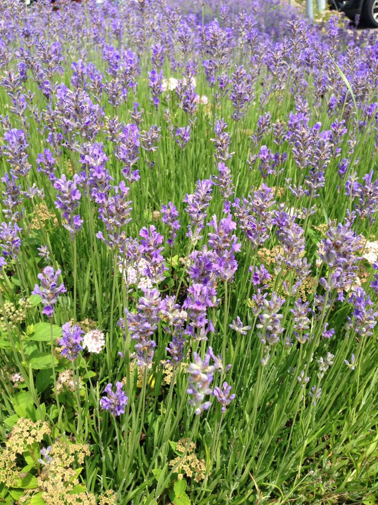 Lavendel Lavanda flowers