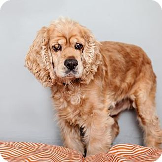 Mission Hills, CA - Cocker Spaniel Mix. Meet Ozzy, a special needs dog for adoption. http://www.adoptapet.com/pet/17567790-mission-hills-california-cocker-spaniel-mix. Ozzy is blind & is available at Best Friends Pet Adoption Center.
