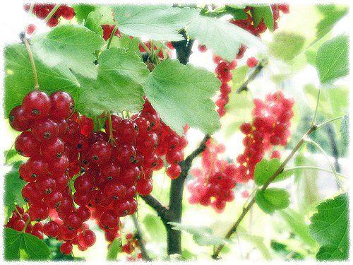 A ribiszke termesztése és gondozása
